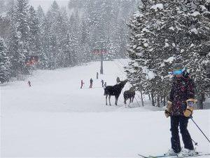 moose at Jackson Hole Mountain Resort